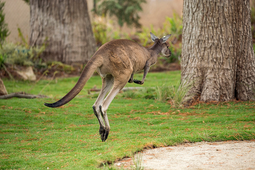 Kids Free October - San Diego Zoo Safari Park Walkabout Australia Kangaroo