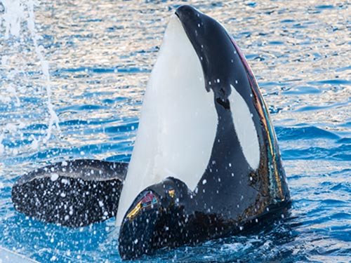 What's New at SeaWorld in 2017 - Orca Encounter